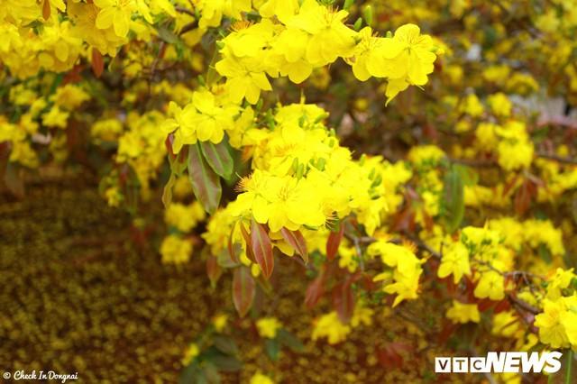Chỉ trong khoảng sân rộng vài chục mét vuông, cây mai tỏa tán rộng hơn 5 m và có chiều cao 4 m khiến du khách không khỏi choáng ngợp. Hoa chen nhau nở rộ phủ kín các cành cây, đây chính là cảnh sắc trăm hoa đua nở mà người ta vẫn thường nói đến.
