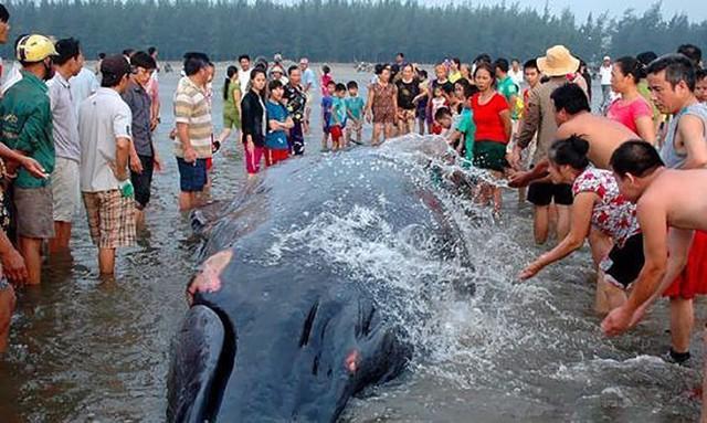 Một con cá voi khổng lồ từng bị mắc cạn tại bờ biển xã Diễn Thịnh. Ảnh: Thanh Yên.
