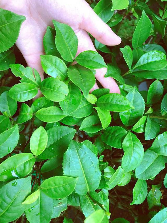 Elly Trần còn trồng chè xanh.
