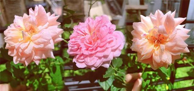 Hoa hồng đua nhau khoe sắc trên khu vườn nhỏ.