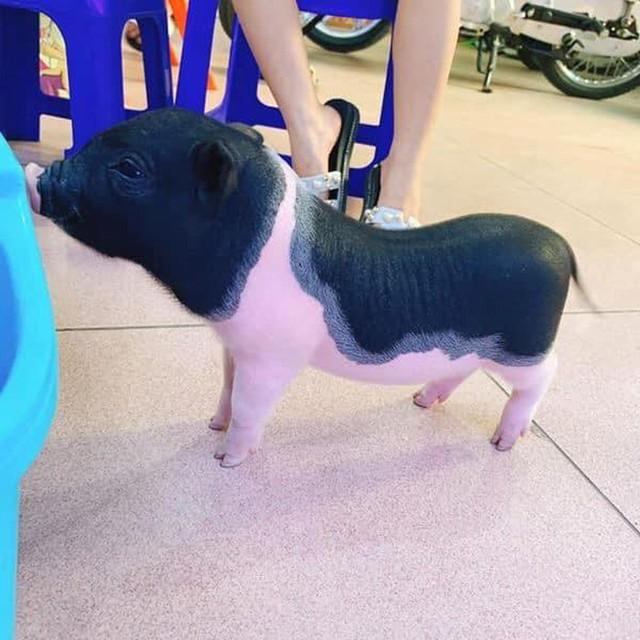 Các chú lợn mini được chăm sóc rất cẩn thận