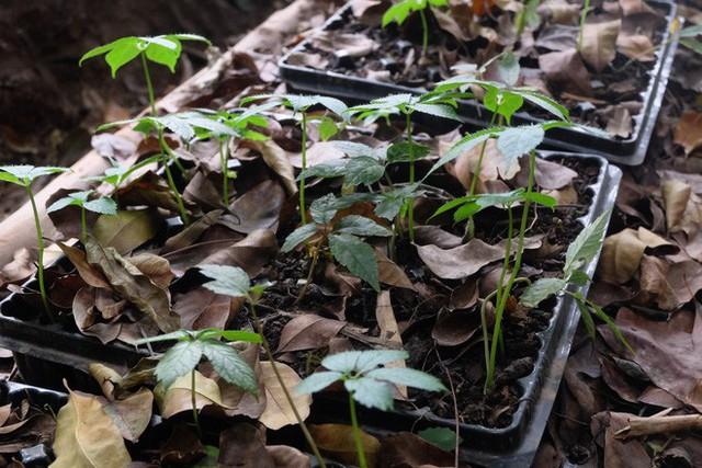 Theo chia sẻ của nhân viên gian hàng, những cây sâm của công ty được trồng hoàn toàn tự nhiên dưới tán rừng già, hấp thụ dưỡng chất của đất, nước để phát triển.