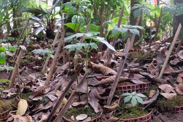 Hiện tại, những cây sâm quý này cũng được mang về Hà Nội, trồng tại khu vườn ngay trong gian hàng, phục vụ khách hàng thăm quan.