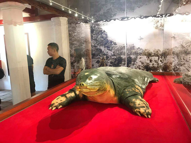 Tiêu bản cụ rùa chết năm 2016 được đặt trong tủ kính, sẽ phục vụ khách tham quan vào ngày 16/3.