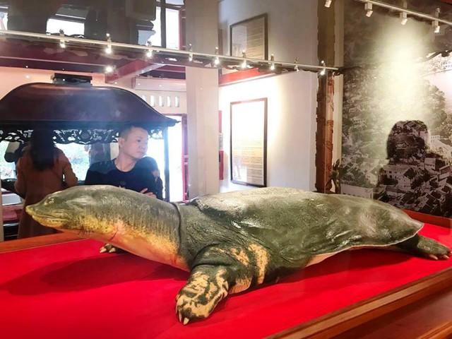 Cụ rùa dài 2,08 m, ngang 1,08 m, nặng 169 kg.