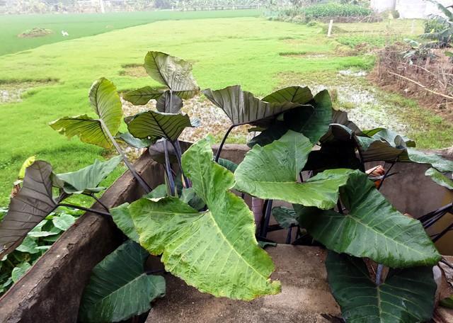 Khóm khoai môn bà Tuyết trồng tại vị trí rãnh xen kẹt rất hẹp.