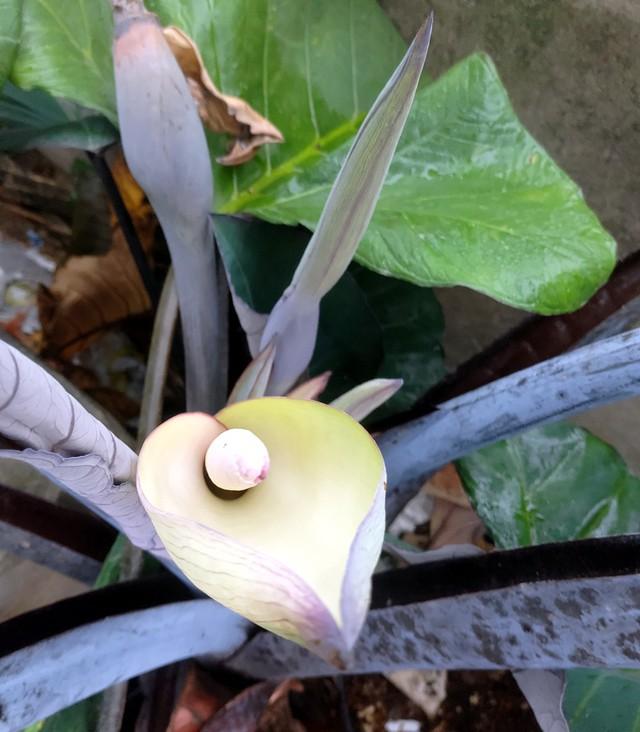 Đặc biệt, khóm khoai cũng có nhiều gốc nở hoa ra, trái. Theo nhiều người dân, đây là trường hợp khá hiếm gặp.