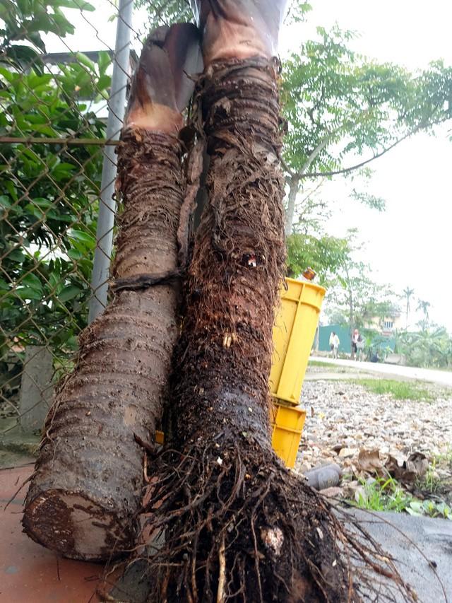 Mỗi củ khoai chỉ phải cắt bỏ khoảng 10cm phần gốc có rễ bỏ đi, còn lại đều ăn được hết.