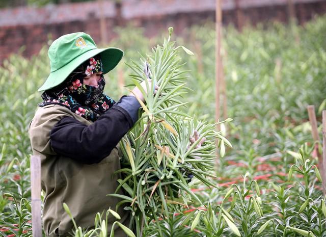 Gia đình chị Hoa năm nay trồng 5 sào hoa loa kèn, theo chị cho biết, mỗi năm chỉ trồng được một vụ hoa loa kèn còn lại không trồng được cây gì khác.
