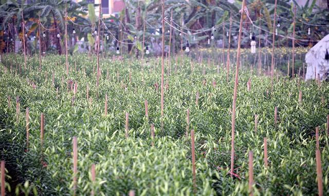 Những ruộng loa kèn tại Hạ Mỗ (Đan Phượng) dịp này đang bắt đầu nở rộ, người nông dân Tây Tựu thuê đất tại đây đang tất bật thu hoạch để chuyển đi khắp nơi bán cho người dân.