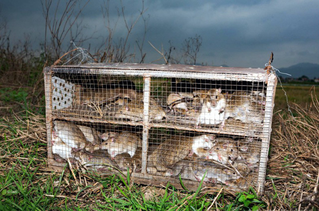 Những con chuột bắt ở tỉnh Quảng Ninh bị nhốt vào lồng trước khi đem ra chợ bán hoặc bị đưa vào bếp chế biến