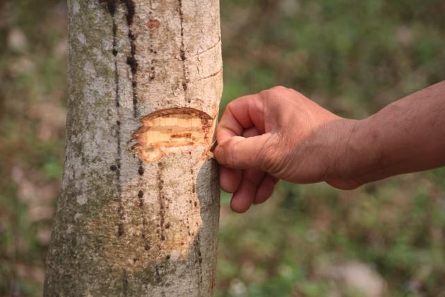 Cuộc sống của người dân ngày càng khó khăn do thu thập từ cây cao su quá kém...