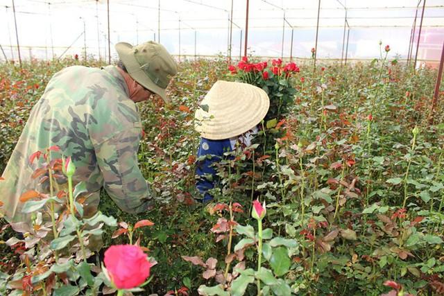 Giá hoa hồng đỏ tại vườn Đà Lạt hiện có giá cao kỷ lục, dao động 7.000-8.000 đồng mỗi bông. Ảnh: Anh Tiến.