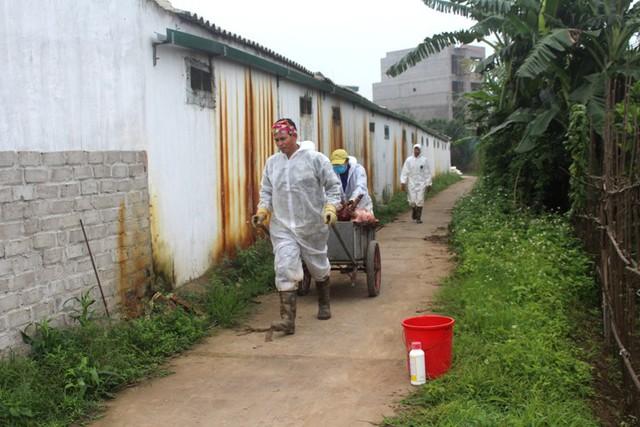 Trước khi mang số lợn đi tiêu hủy, cán bộ thú y huyện Ninh Giang tiến hành phun thuốc tiêu độc, khử trùng