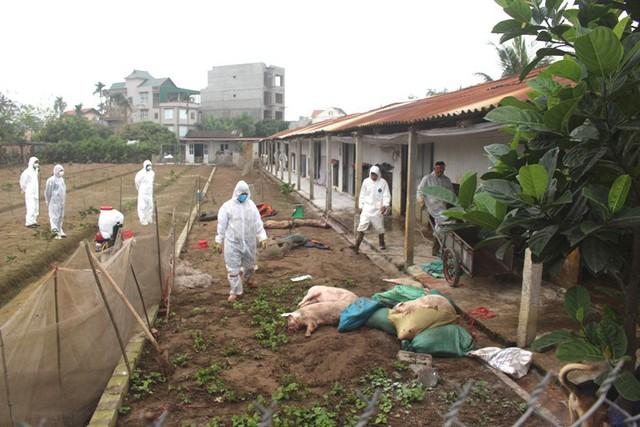 Gia trại nuôi lợn của ông Đào Văn Điều, trú tại thôn 1, xã Tân Hương được xác định xuất hiện ổ dịch bệnh tả lợn châu Phi