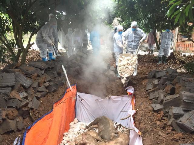 Lực lượng chức năng tiến hành tiêu hủy số lợn bị bệnh dịch tả châu Phi tại thị xã Đông Triều. Ảnh: Tăng Đức