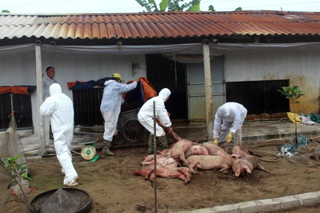 Sau khi có kết quả xét nghiệm xác định bị nhiễm dịch bệnh, cơ quan chức năng tiến hành tiêu hủy toàn bộ số đàn lợn trong chuồng. Ảnh: Đ.Tùy