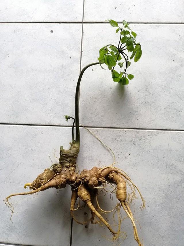 Củ sâm Ngọc Linh được một người trồng tại tỉnh Kon Tum bán cho thương lái.