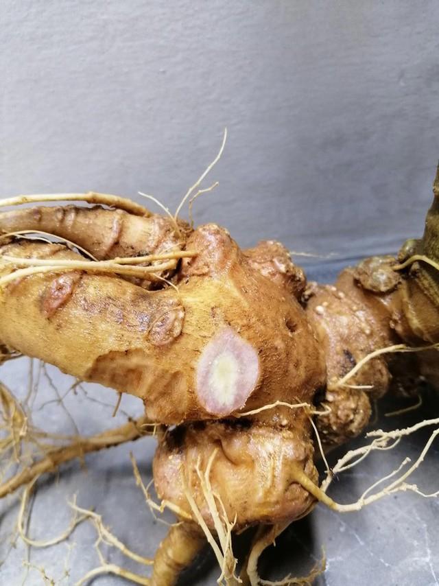 Sâm Ngọc Linh chỉ đâm chồi nảy lộc vào mùa xuân, sau vài tháng sinh trưởng, thân và lá đều lụi tàn để dưỡng chất phục vụ việc nuôi củ.