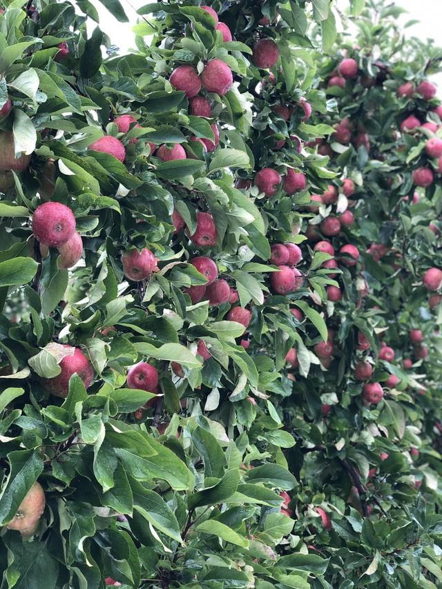 Trái cây nhập khẩu cũng được nhập trực tiếp từ vườn, không qua trung gian