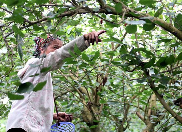 Theo người dân cho biết, dâu tằm được trồng ở xã Hiệp Thuận cách đây 6 - 7 năm, những gốc dâu lớn có thể cho sản lượng lên đến 80kg/mùa.