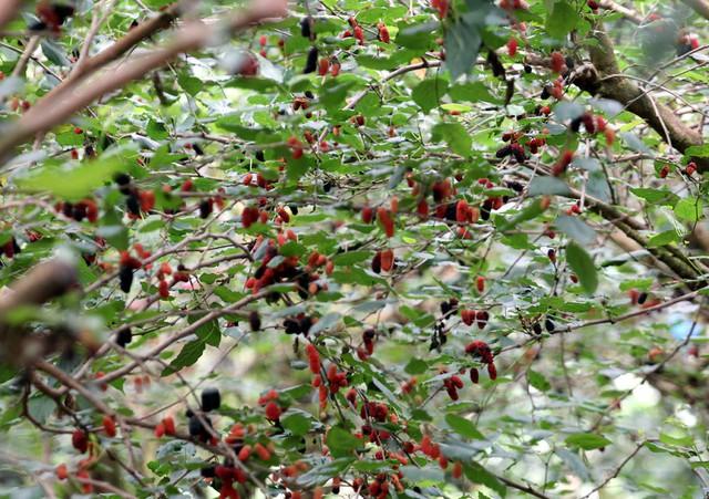 Khoảng gần 1 tháng nay, rất nhiều nông dân xã Hiệp Thuận vui mừng khi vụ dâu tằm 2019 vào mùa. Thời điểm đầu mùa, giá dâu cao và đạt đến 20.000 đồng/kg, sau khi thu hoạch chủ các ruộng dâu đều được thương lái thu mua tận vườn.
