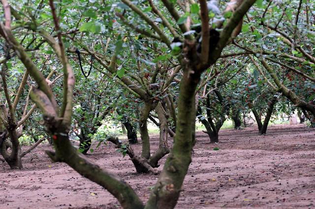 Dâu tằm được người nông dân trồng nhiều tại các khu vực ven sông Đáy như: Dương Liễu (Hoài Đức), Hiệp Thuận (Phúc Thọ) bởi đất đai màu mỡ, nhiều dinh dưỡng và phù hợp với đặc tính sinh trưởng của cây dâu.