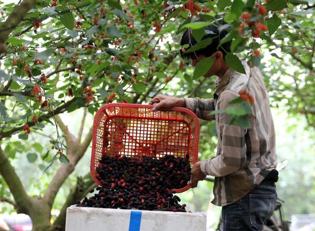 Sau khi thu hoạch, đưa lên cân xong dâu được đóng trong thùng xốp để xuất đi các tỉnh như: Hà Nội, Đà Nẵng, TP Hồ Chí Minh.