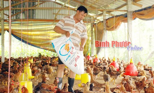 Anh Hoàng Văn Hậu ở ấp Thanh Sơn, xã Thanh Lương (Bình Long) nuôi 10.000 con gà đang thấp thỏm chờ giá tăng để bán thu hồi vốn.