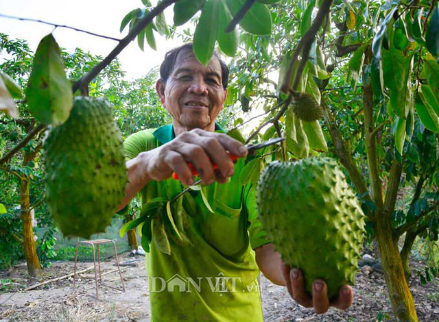Được biết, Chi hội Làm vườn ấp Đông Bình, thị trấn Tân Hiệp, huyện Tân Hiệp, tỉnh Kiên Giang hiện có 20 thành viên, với tổng diện tích 2,5ha chuyên canh cây ăn trái các loại. Ảnh: NQ.