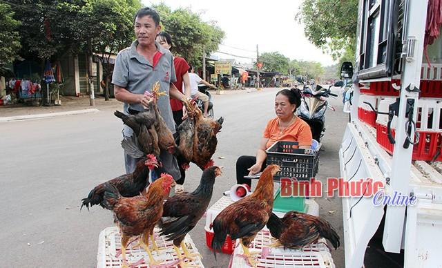Gà rớt giá nên hộ ông Nguyễn Văn Út ở ấp Thanh Hải, xã Thanh Lương (Bình Long) phải mang đi bán lẻ.