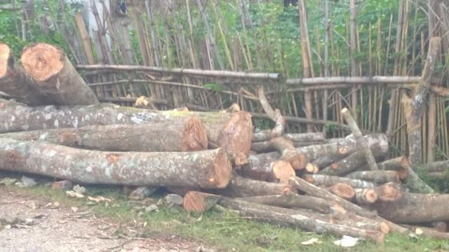 Nhiều diện tích cây cao su bị người dân Thanh Hóa đốn hạ, chất đống. Ảnh: N.Hưng