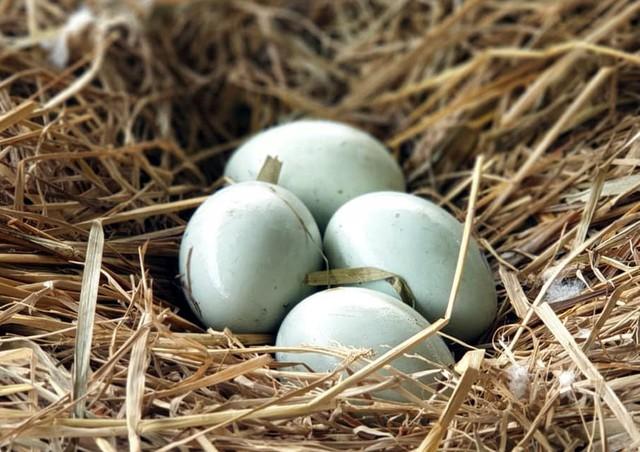 Trong 1 năm chăm sóc và nuôi dưỡng, đàn thiên nga tại hồ Thiền Quang đã sinh nở khoảng 20 quả trứng trong 3 lần. Sự kiện khiến nhiều nhân viên chăm sóc cũng như người dân thích thú.