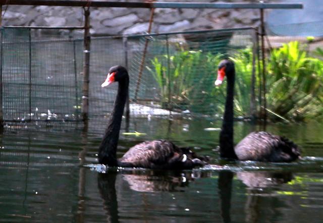 Trong đàn thiên nga nuôi dưỡng tại đây cũng xuất hiện những chú thiên nga đen lạ mắt.