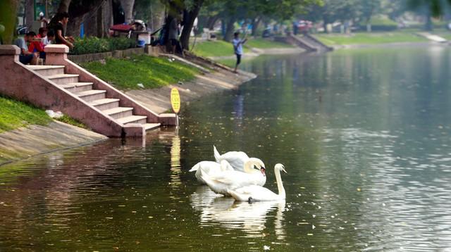 Những ngày Hà Nội nắng nóng nhưng khu vực hồ khá mát mẻ khiến thiên nga vẫn sinh trưởng bình thường.