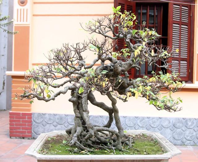 Một gốc khế cổ bonsai cũng có giá trị cao tại vườn.