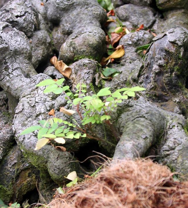 Phần gốc nhiều mầm cây non mọc lên. Riêng mùa khế ra quả trên mỗi cây luôn có hàng trăm quả lúc lỉu.