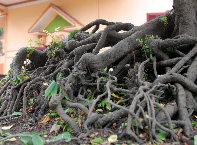 Bộ rễ của một cây trong bộ sưu tập khế cổ của ông Toàn.