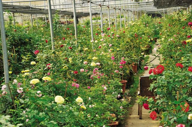 Rực rỡ sắc màu với các giống hoa hồng cổ. Ảnh: T.G
