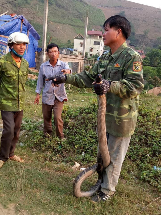 """Người dân ở xã Vân Hồ đã bắt được con rắn hổ mang """"khủng"""" vào chiều 10/4. Ảnh: NĐ"""