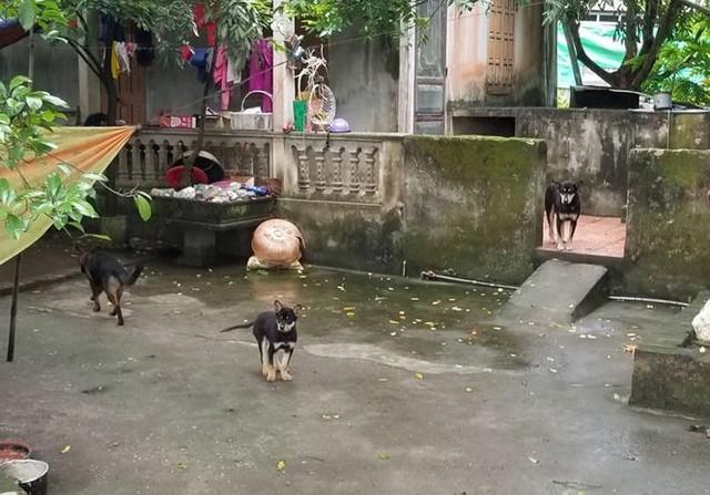 Đàn chó của gia đình bà An được thả rông trong nhà không có chuồng trại, rọ mõm. Ảnh: Xuân Ân