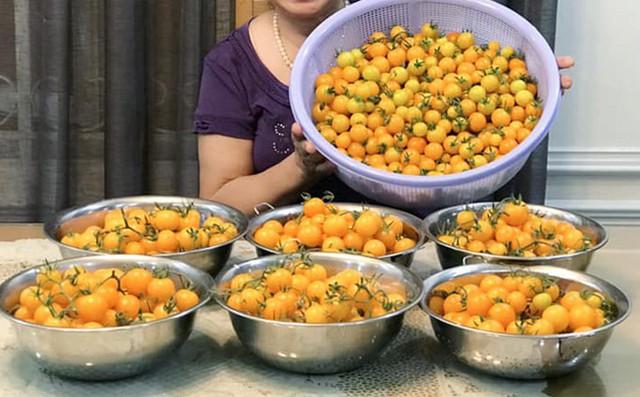 Nhiều vụ mùa chị Hải Anh đã bội thu, như dịp vừa qua chị thu hoạch đến 1.700 quả cà chua bi, 500 quả dưa leo, khổ qua cũng ăn liên tục trong mấy tháng.