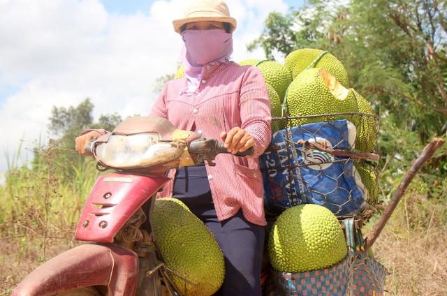 Một thương lái đi thu mua mít. Ảnh: Nguyễn Khoa.