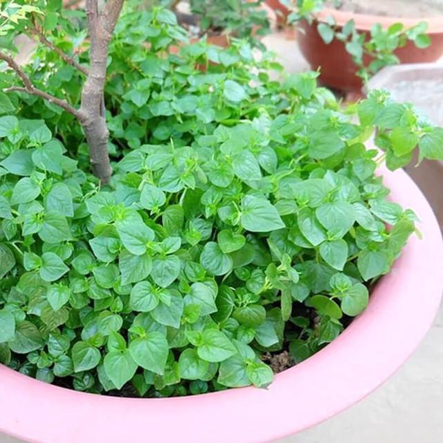 Tại Việt Nam, loại cây này chủ yếu được lấy về làm thức ăn gia súc. Thế nhưng ở các nước Châu Âu, rau càng cua lại rất được ưa chuộng, thường được dùng để chế biến thành nhiều món ăn và có giá không hề rẻ vì những lợi ích y học kỳ diệu của nó.