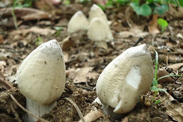 Nấm mối mọc tự nhiên và không thể nuôi trồng như các loại nấm khác.