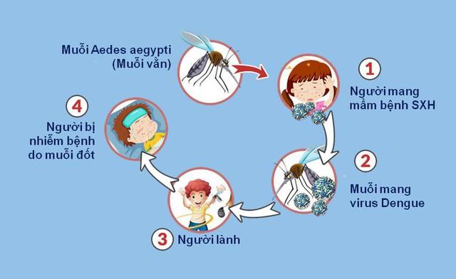Vòng tuần hoàn của bệnh sốt xuất huyết