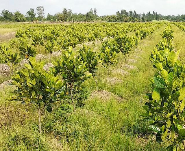 Nông dân ồ ạt mở rộng diện tích trồng mít không theo quy hoạch