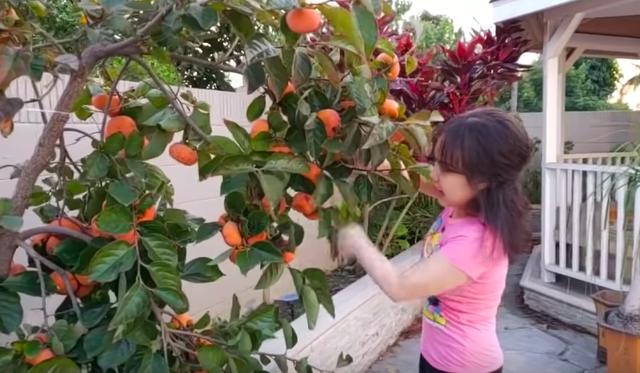 Hồng trĩu quả trong khu vườn nhà Việt Hương.