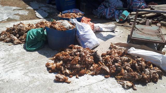 Số lượng gà chết chờ đi tiêu hủy.