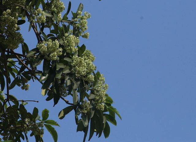 Nhiều người vui tính cho rằng, cách đây ít ngày khi Hà Nội trở rét khiến những cây hoa sữa ngỡ như mùa thu về.